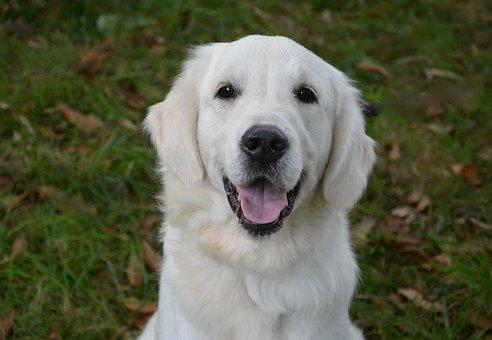 Dog, Golden Retriever, Female, Domestic Animal