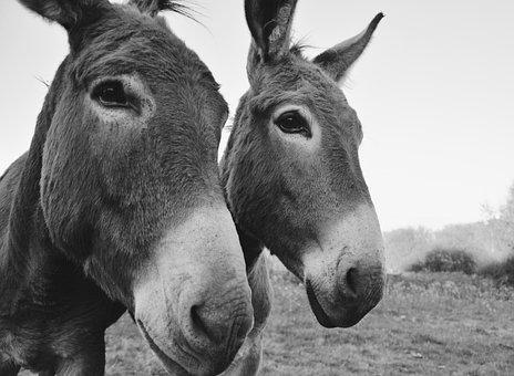 Donkeys, Equines, Portrait, Photo Black White, Grey