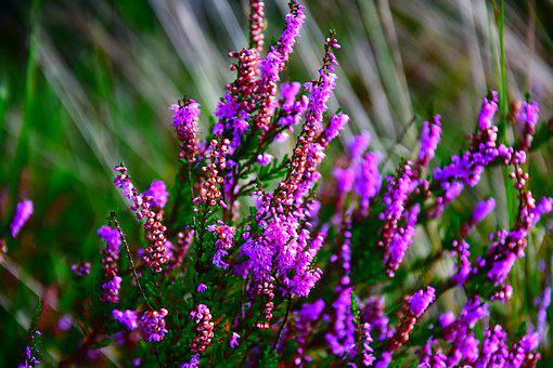 Heide, Heathland, Bright, Close Up, Ericaceae, Heather