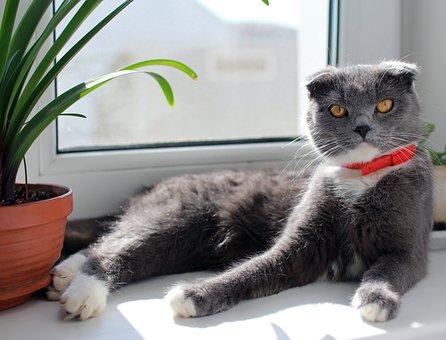 Cat, British, On The Windowsill, British Cat, Fold Pets