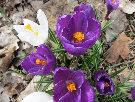 Crocus, Flowers, Springtime, Macro, Blossom, Petal