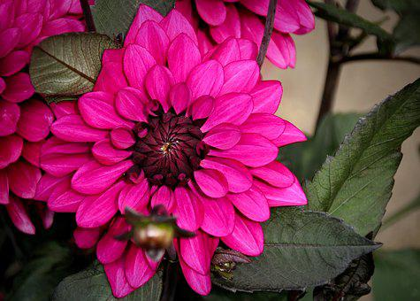 Plant, Flower, Nature, Blossom, Bloom, Dahlia