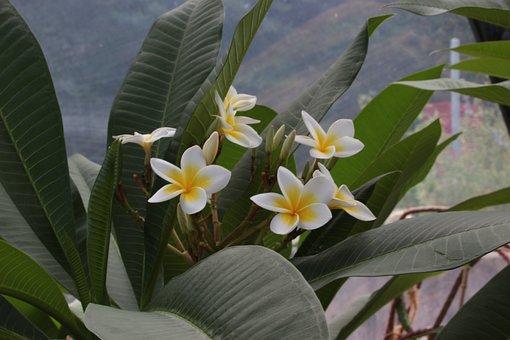 Tropical Dry Area, Frangipani, Plumeria, Mauritius