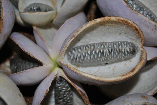 Akebia, Plant, Quinata, Purple, Flower, Garden, Fresh