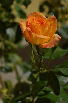 Rose Bush, Yellow, Blurred, Flower, Rosa
