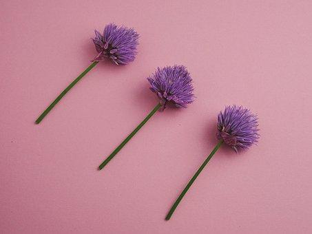 Chives, Blueme, Purple, Flower, Nature, Spice, Plant