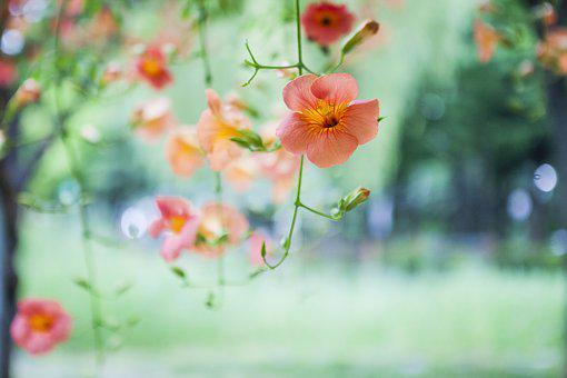 Everyman Flower, Campsis, Flowers, Spring Flowers