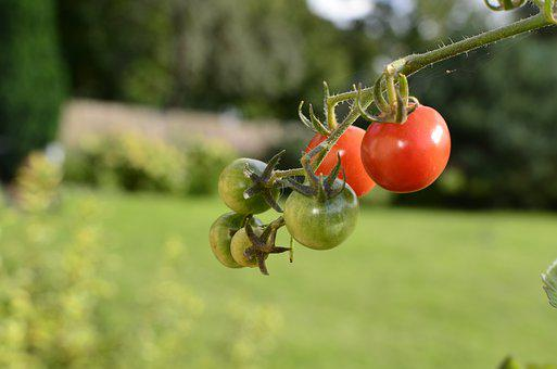 The Plot, Bush, Tomatoes Pepowo