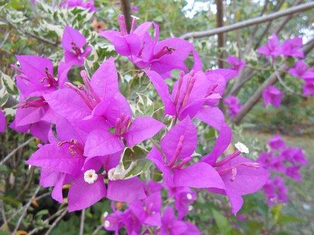 Flower, Bougainvilleas, Plants, Violet, Bloom, Plant