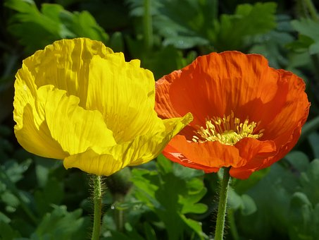 Poppy, Yellow, Orange, Summer, Close, Nature, Plant
