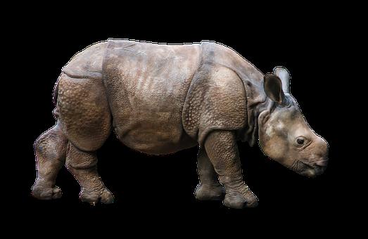 Animal, Wild Animal, Rhino, Young Rhino, Rhino Young