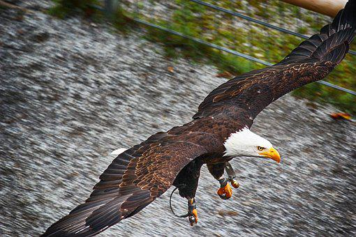 Adler, Bald Eagles, Bald Eagle, Bird Of Prey, Raptor