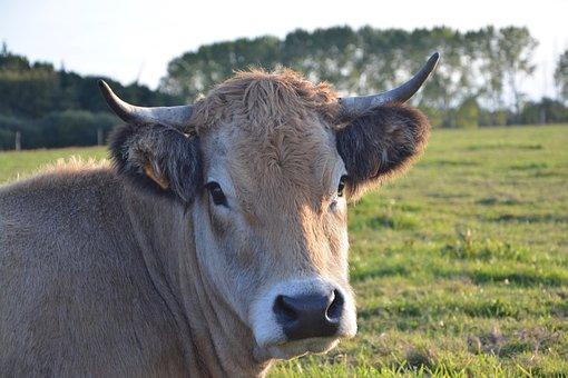 Cow, Cattle, Ruminant, Female, Mammal Domestic