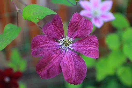 Clematis, Flower, Curly, Climbing Plant, Curly Flowers