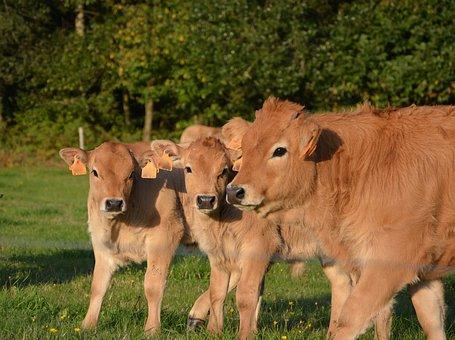 Cow, Calf, Mom Babies, Pre, Prairie, Cattle, Animals