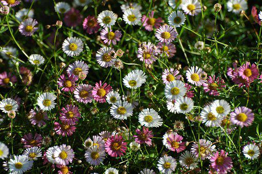 Daisy, Summer, Garden, Meadow, Pointed Flower, Flower