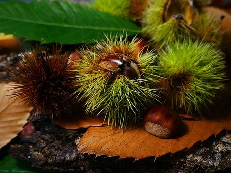 Fall, Chestnut, Season, Leaves, Chestnuts, Brown