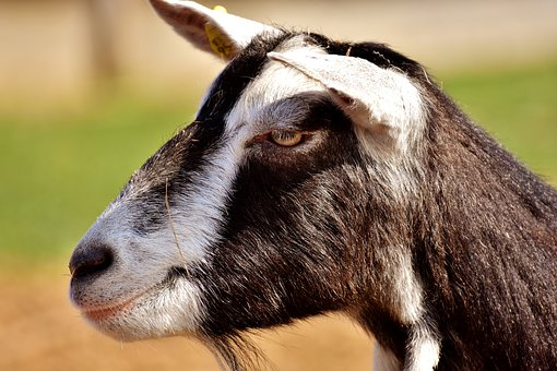 Goat, Animal, Nature, Farm, Mammals, Domestic Goat