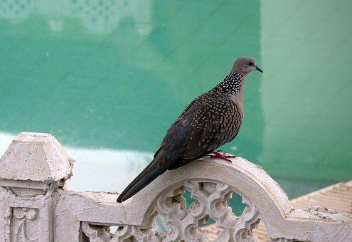 Spotted Dove, Streptopelia Chinensis, Bird, Fly, Wings