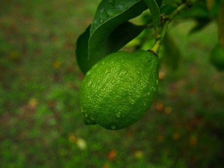 Lemon, Green, Branches, Fruit, Tree, Green Lemon