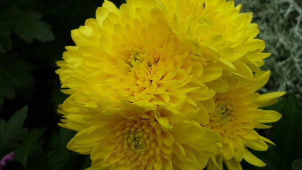 Aster, Flower, Blossom, Bloom, Yellow, Garden