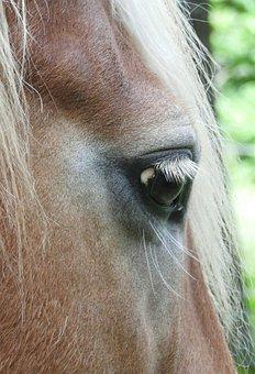 Horse, Haflinger, Horse Eye, Horse Head