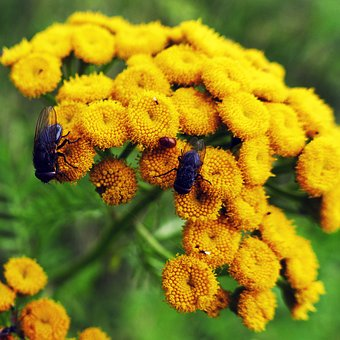 Tansy, Flowers, Fly, Heilpfanze, Faerbepflanze
