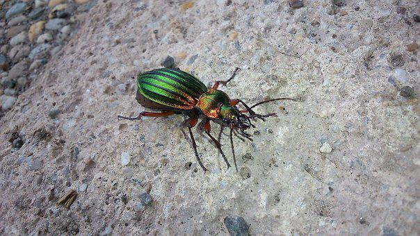 Beetle, Insect, Gleaming