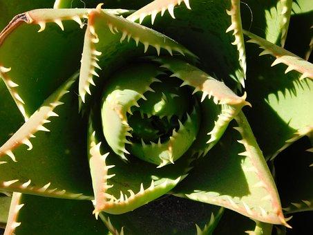 Cactae, Cactus, Plant, Desert, Nature, Green, Thorn