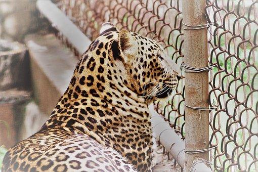 Leopard, Panthera Paradus, Animal, Zoo, Cage, Closed