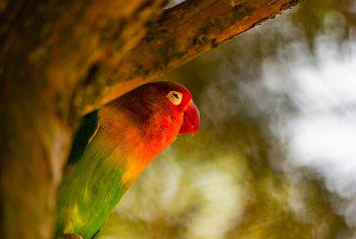 Bird, Parrot, Inseparable, Colorful, Plumage