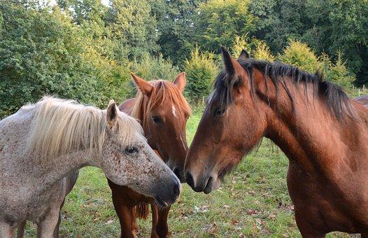 Horses, Horse, Portrait, Heads, Profile, Manes, Kiss