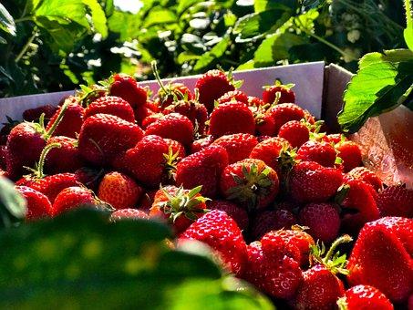 Strawberry, Summer, Fruit, Berry, Fresh, Red, Organic
