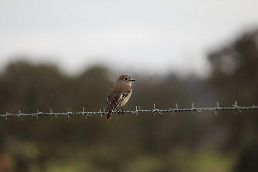 Scarlet, Robin, Female, Bird, Fence, Wire, Barb, Barbed