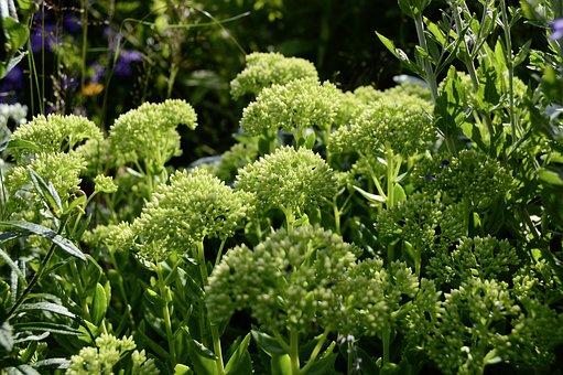 Sedum, Stonecrop, Plant, Nature, Big Fat Hen, Summer