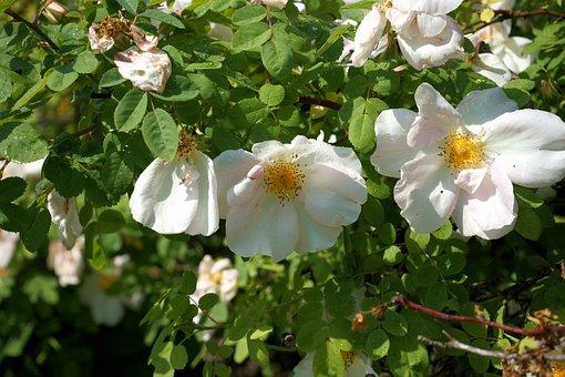 Shrub Rose, Unfilled, White Flowers