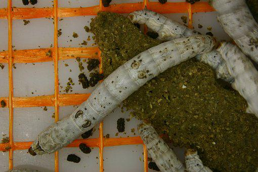 Silkworm, Cocoon, Insect, Silk, Nature, Texture, Raw