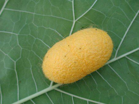 Silkworm, Cocoon, Insect, Yellow