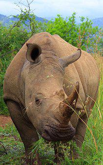 Rhino, Big 5, Africa
