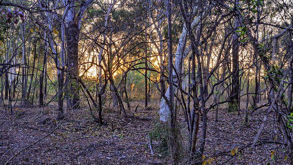 Boobook Owls, Australian Bush, Sunrise Photo