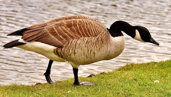 Goose, Water Bird, Wild Goose, Bird, Poultry