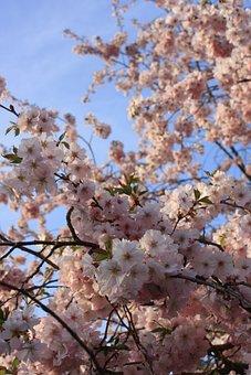 Cherry, Cherry Blossom, Japanese Cherry, Pink, Spring