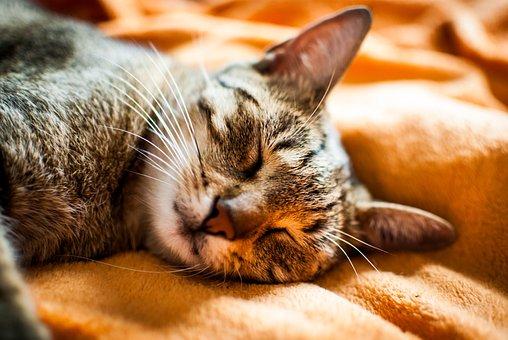 Cat, Dream, Domestic Cat, Animal, Futrzak, Coat