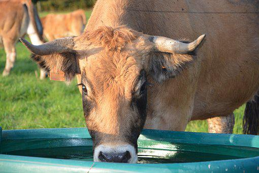 Cow, Cattle, Ruminant, Female, Drink Water