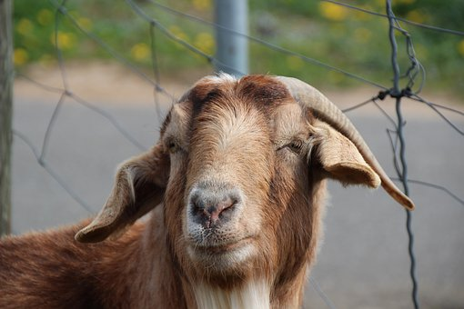 Billy Goat, Goat, Horns, Goatee, Domestic Goat