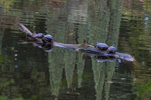 Turtles, Water, Pond, Lake, Nature, Water Turtle