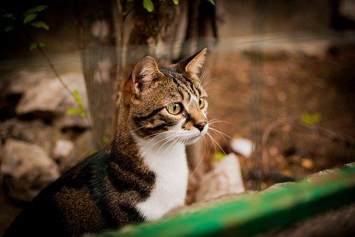 Cat, Looks, Dachowiec, Cat Staring, Domestic Cat