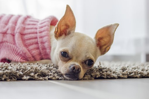 Chihuahua, Dog, Puppy, Cute, Nose, Watch, Dog Clothes