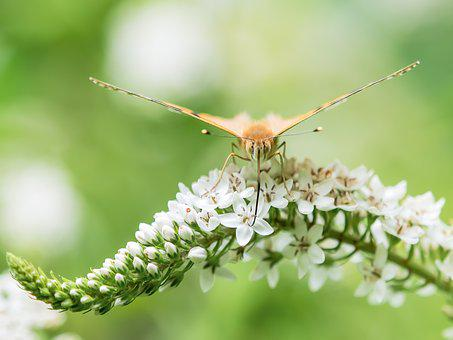 Butterfly, Painted Lady, Insect, Proboscis, Blossom