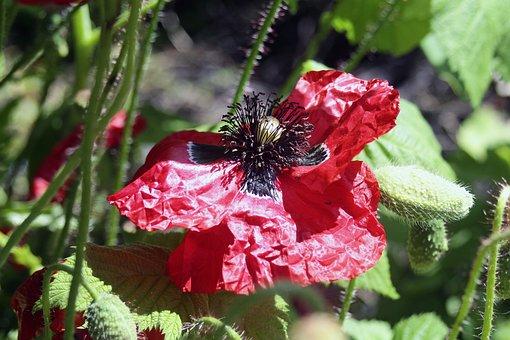 Poppy, Faded, Klatschmohn, Poppy Flower